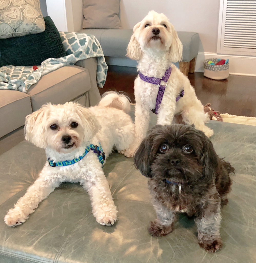Three pups, a shih poo, havapoo and mystery doodle.