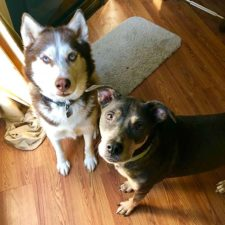 Siberian husky and pit bull dogs