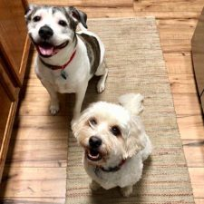 Pit bull mix and schnoodle dogs