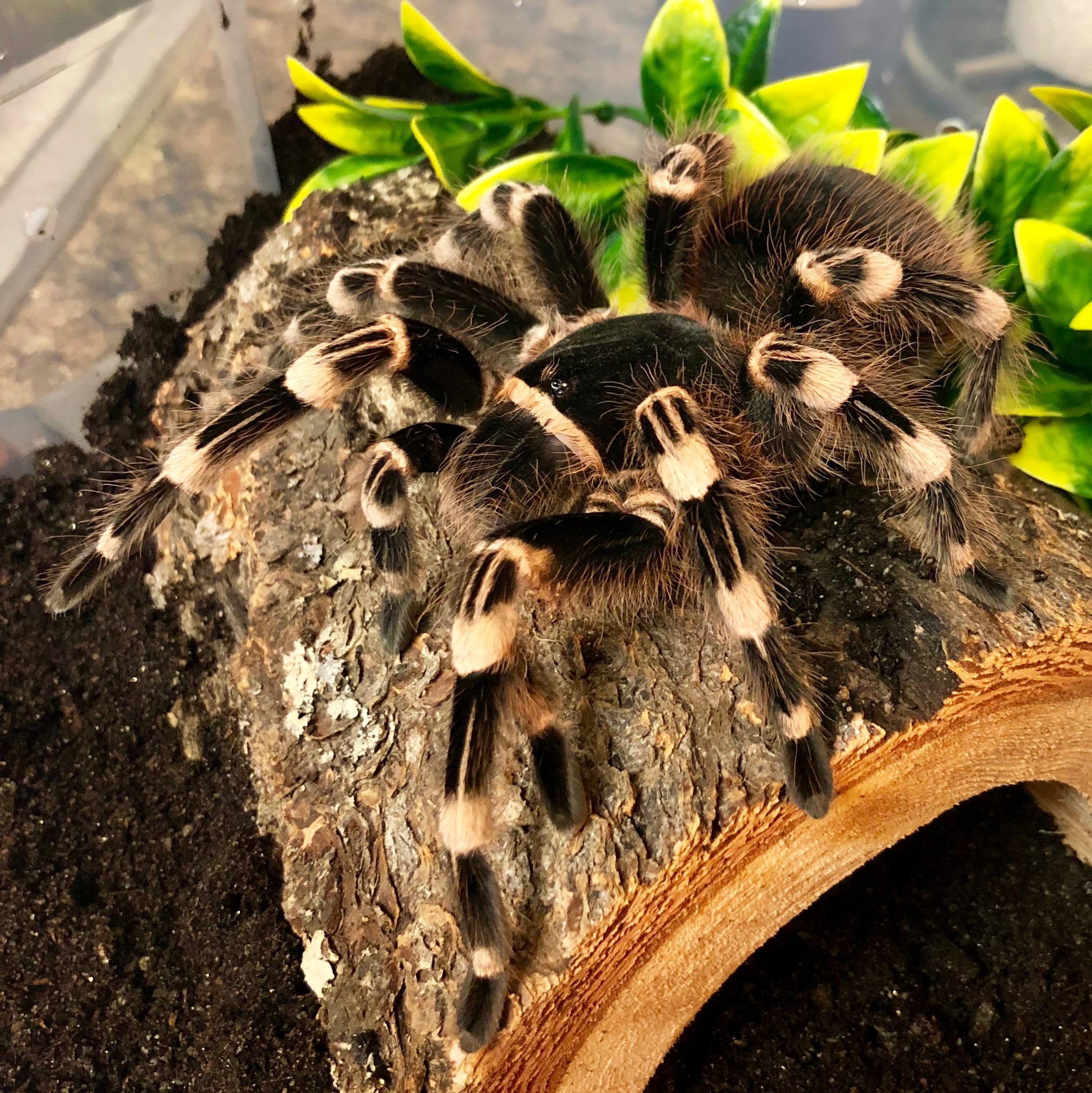 Acanthoscurria geniculata, Brazilian giant whiteknee tarantula
