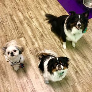 overnight pet sitting clients, a shih-tzu, Japanese chin & sheltie dogs.