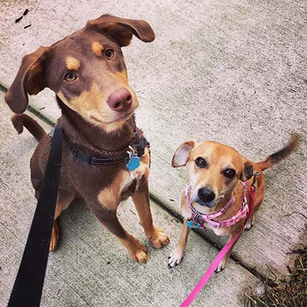 Two of our daily dog walking clients