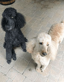 Two of our hourly pet sitting clients. Gus and Daisy, standard poodles.