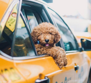 Pet Taxi services by All Critters Petcare