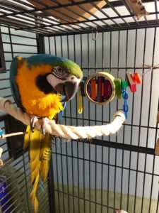 blue and gold macaw, bird sitting client
