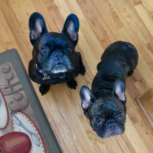 Two French Bulldogs getting ready for their lunchtime walk.