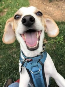 Cute Jack Russell terrier mix having fun on his mid-day walk
