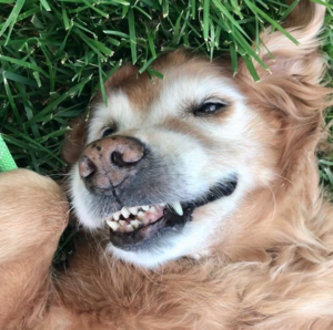 golden retriever having fun rolling in the grass