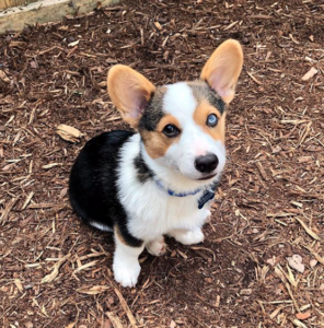 Corgie puppyVacation pet sitting clients - All Critters Petcare, professional pet sitters and dog walkers in Raleigh, NC