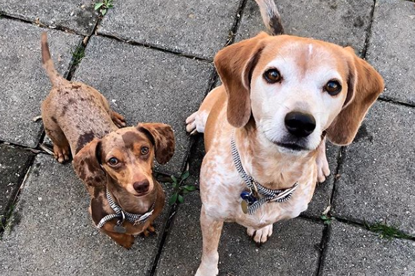 Two of our sweet mid-day dog walking clients.  Delilah, a dachshund and Barnaby, a beagle.