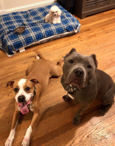 pit bull boxer mix and a toy poodle