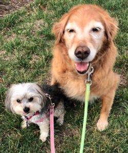 golden retriever and a shih-tzu