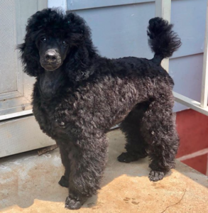 Black Mini Poodle
