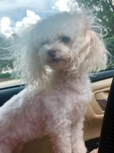 Lily, a little toy poodle
