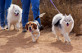 Three dogs taking a walk